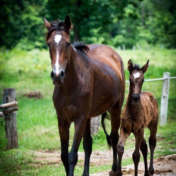 Urazy tkanek miękkich u koni